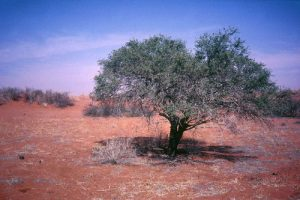 An acacia tree marks the location of a former living area for the ǂKhomani San